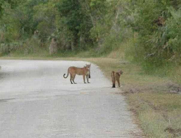 Panther Sighting Yay